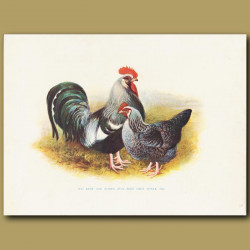 Old Kent And Sussex Five-Toed Grey Fowls