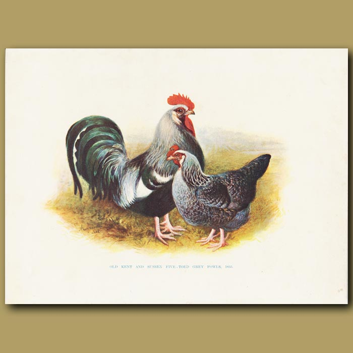 Antique print. Old Kent and Sussex Five-toed Grey Fowls