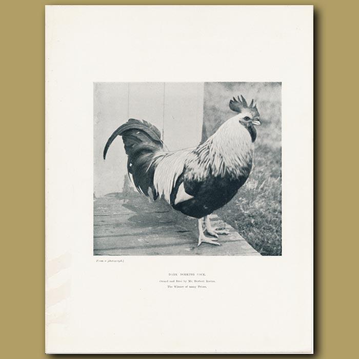 Antique print. Dark Dorking Cock
