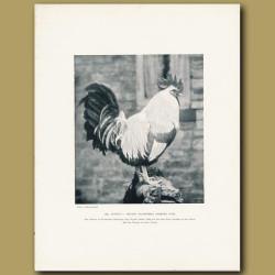 Mr Arthur C. Major's Silver-Grey Dorking Cock