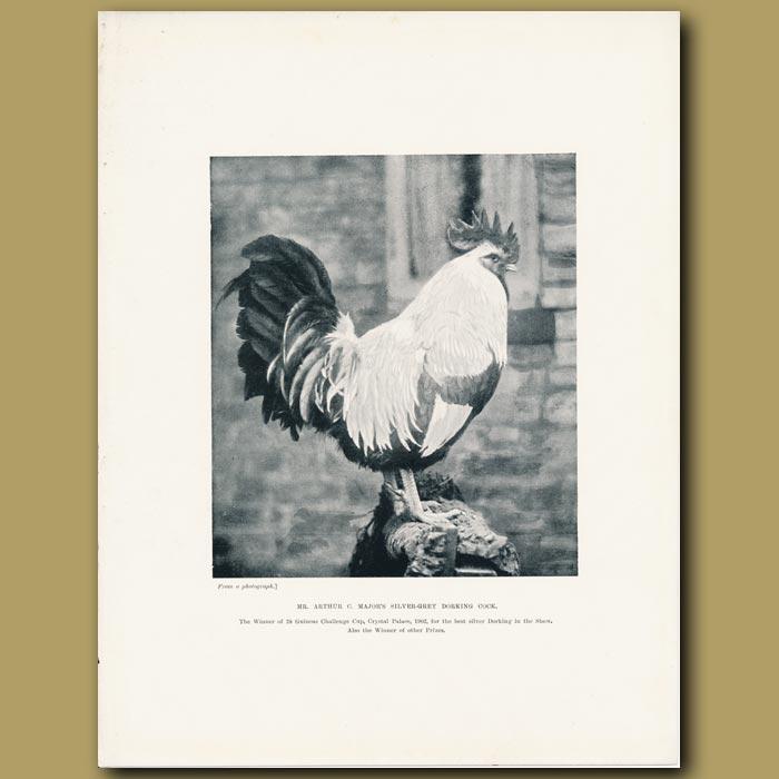 Antique print. Mr Arthur C. major's Silver-grey Dorking Cock