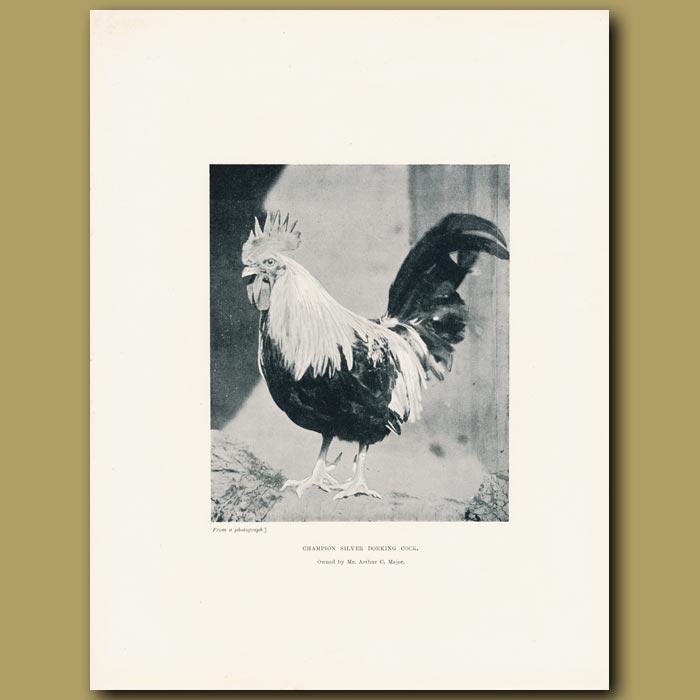 Antique print. Champion Silver Dorking Cock