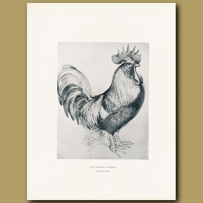 Antique print. Prize Dorking Cockerel