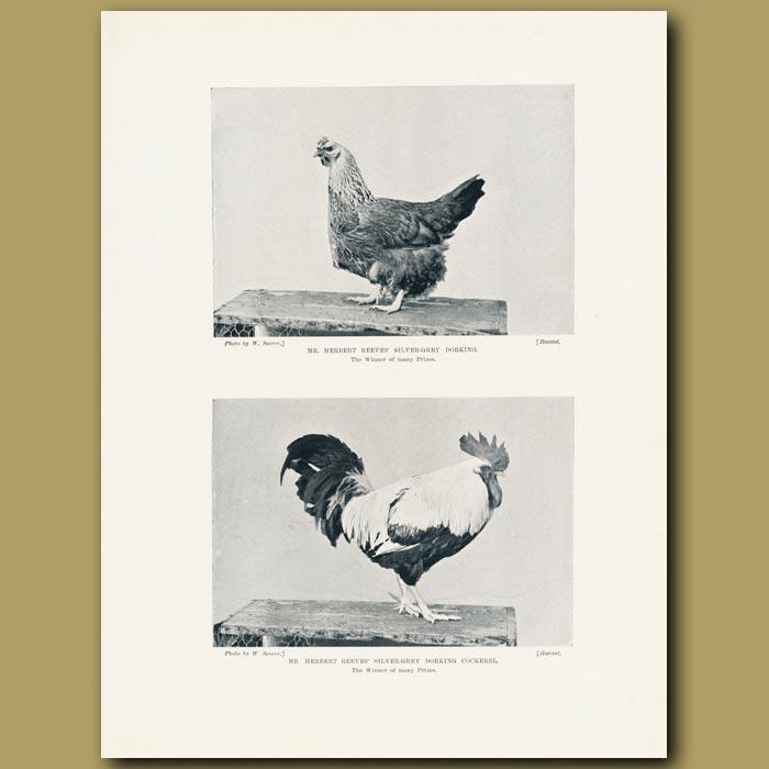 Antique print. Mr Herbert Reeve's Silver-grey Dorkings