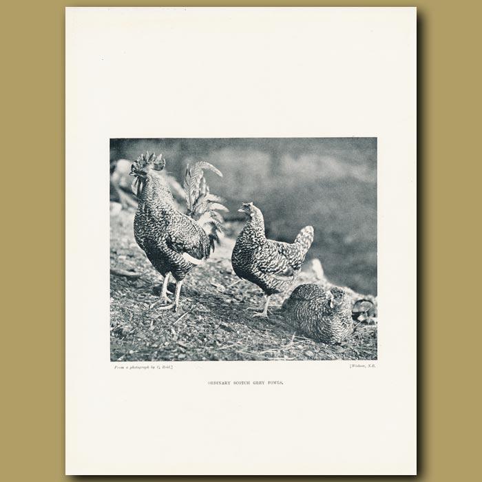 Antique print. Ordinary Scotch Grey Fowls