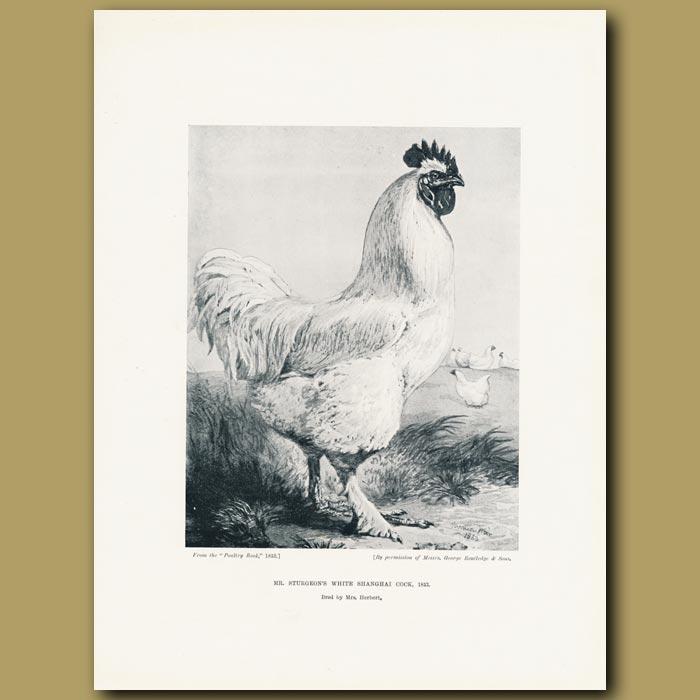 Antique print. Mr Sturgeon's White Shanghai Cock