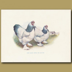 Light Brahma Pootra Cock And Hen