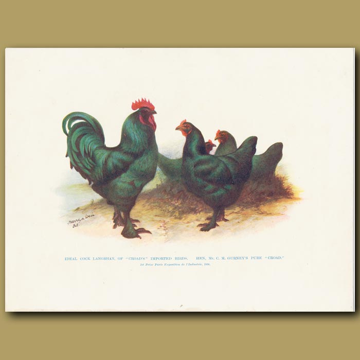 Antique print. Ideal Cock Langshan