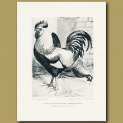 The Justly-Celebrated Grey Dorking Cockerel And Pullet