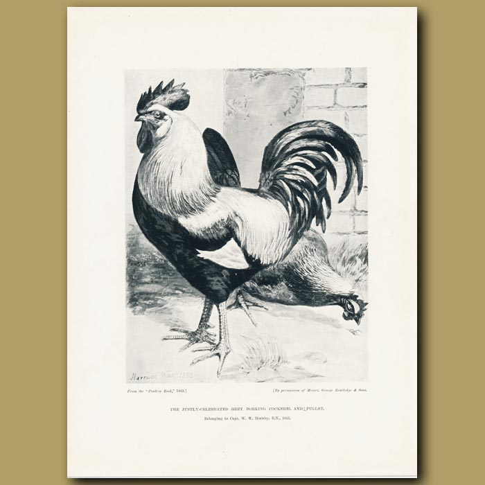 Antique print. The Justly-celebrated Grey Dorking Cockerel and Pullet