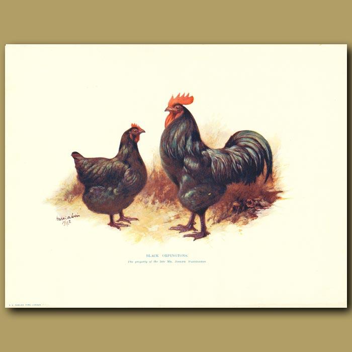 Antique print. Black Orpingtons