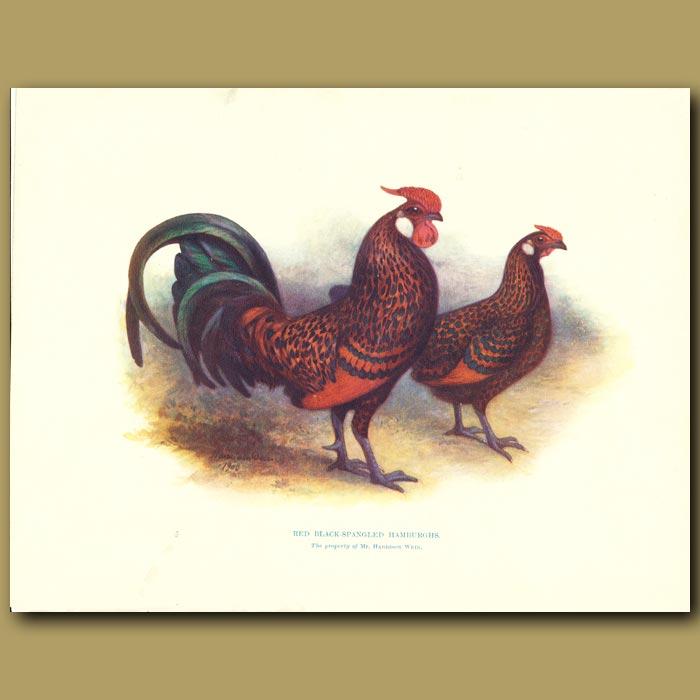Antique print. Red Black-spangled Hamburghs