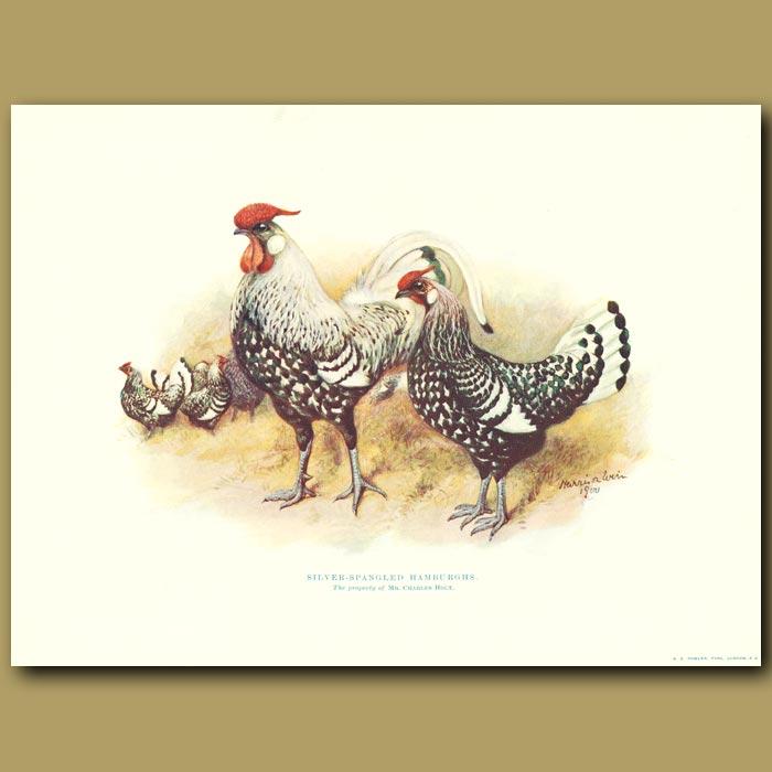 Antique print. Silver-spangled Hamburghs