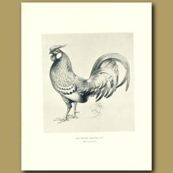 Gold-Spangled Hamburgh Cock