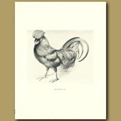 Prize Redcap Cock