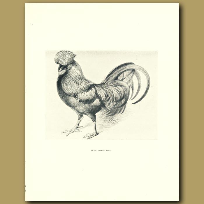 Antique print. Prize Redcap Cock