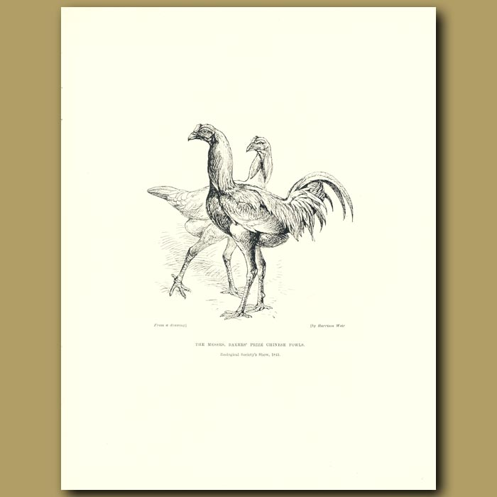 Antique print. The Messrs. Bakers' prize Chinese Fowls