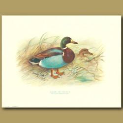 Mallard And Wild Duck