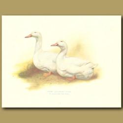 White Aylesbury Ducks