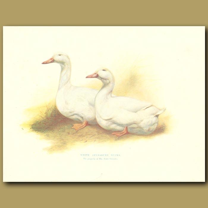 Antique print. White Aylesbury Ducks