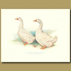 Prize White Pekin Ducklings