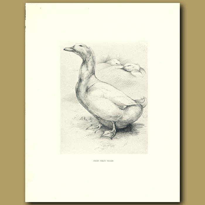 Antique print. Prize Pekin Drake