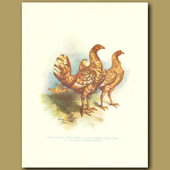 Antique print. Almond Mottle Fowl