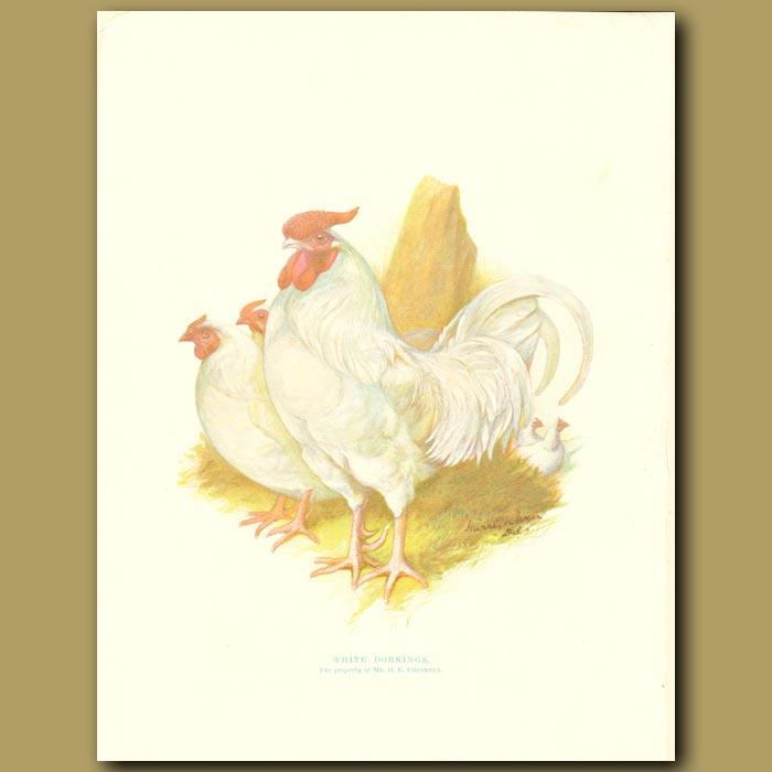 Antique print. White Dorkings