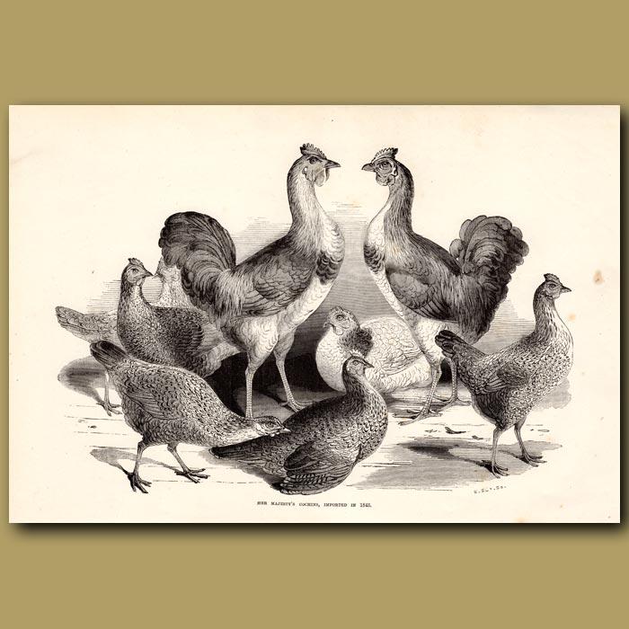 Antique print. Her Majesty's Cochin Chickens