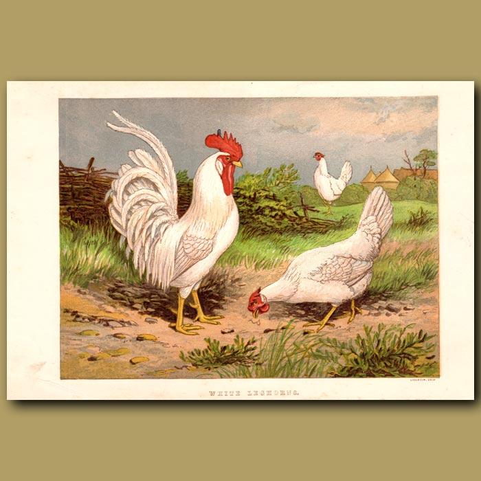 Antique print. White Leghorn Chickens