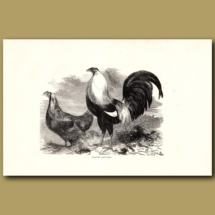 Antique print. Duckwing Game Fowls