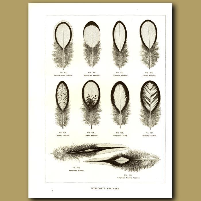 Antique print. Wyandotte Feathers