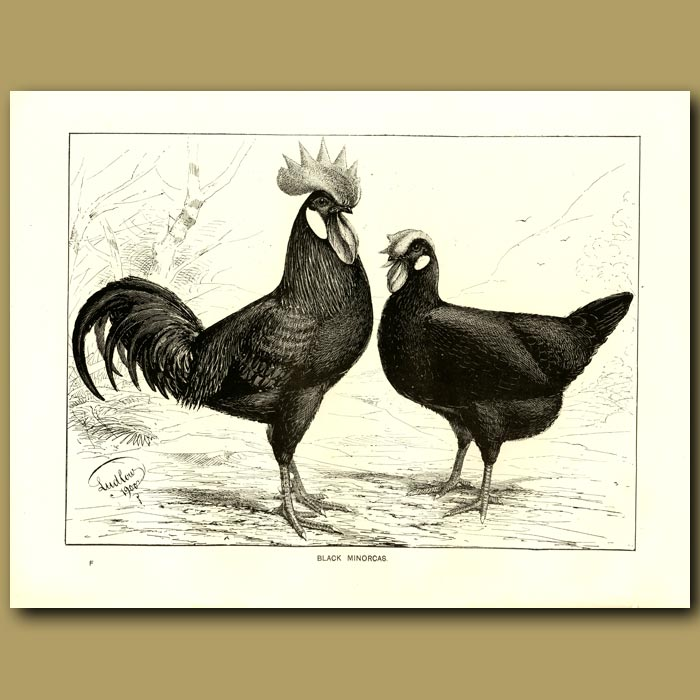 Antique print. Black Minorcas