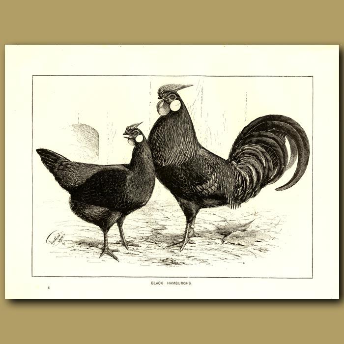 Antique print. Black Hamburghs