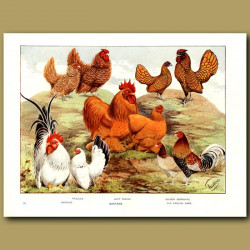 Bantams - Frizzles, Japanese, Golden Serbrights And Old English Game