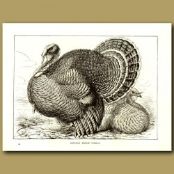 American Bronze Turkeys