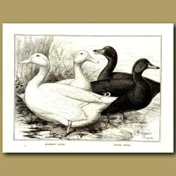 Aylesbury Ducks And Cayuga Ducks
