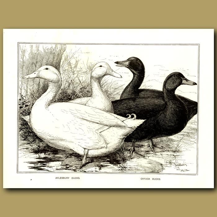 Antique print. Aylesbury Ducks and Cayuga Ducks
