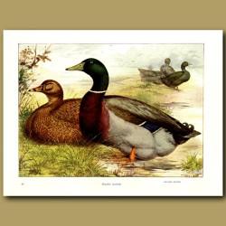 Rouen Ducks And Cayuga Ducks