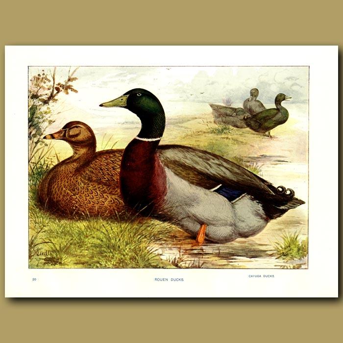 Antique print. Rouen Ducks and Cayuga Ducks