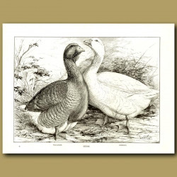 Geese - Toulouse And Embden