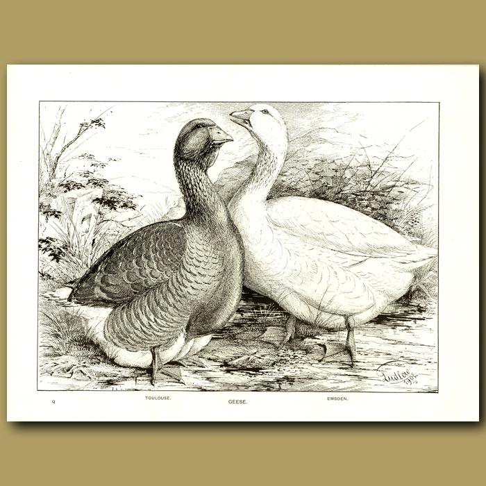 Antique print. Geese - Toulouse and Embden