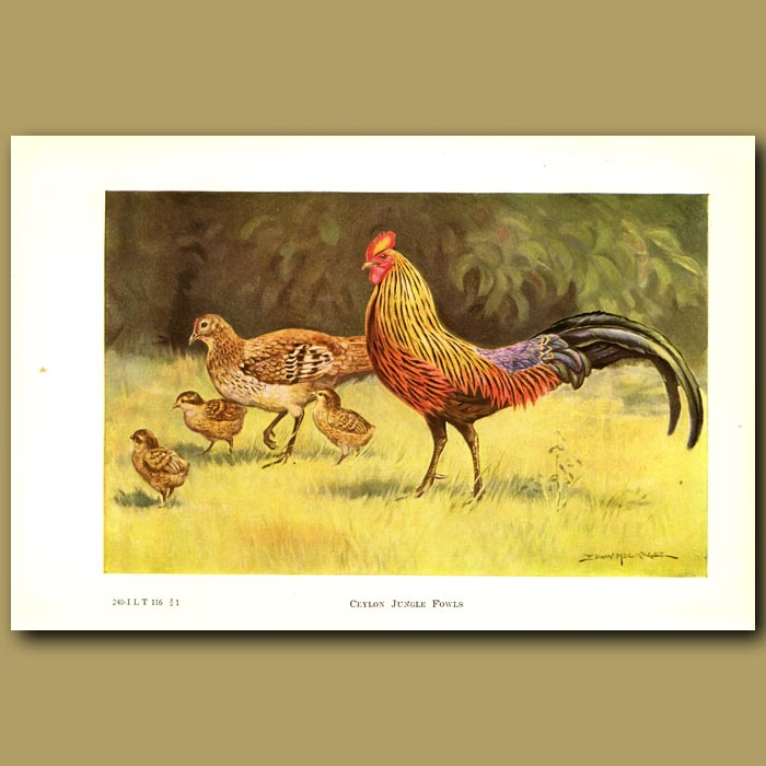 Antique print. Ceylon Jungle Fowl