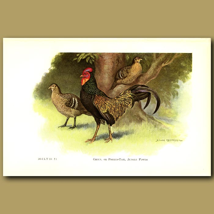 Antique print. Green or Forked-tail Jungle Fowl