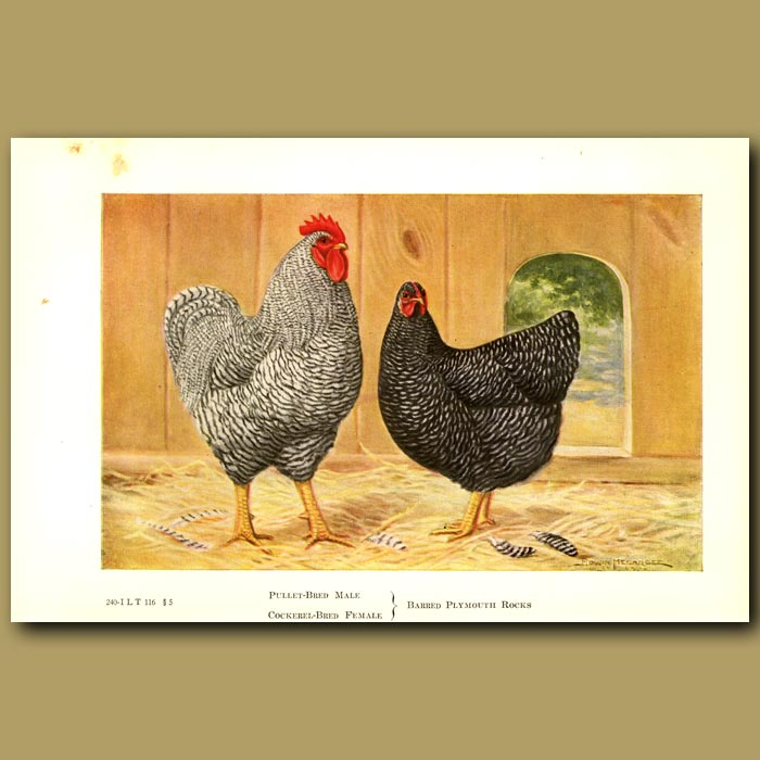 Antique print. Barred Plymouth Rock Chickens