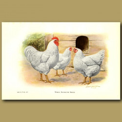 White Plymouth Rock Chickens