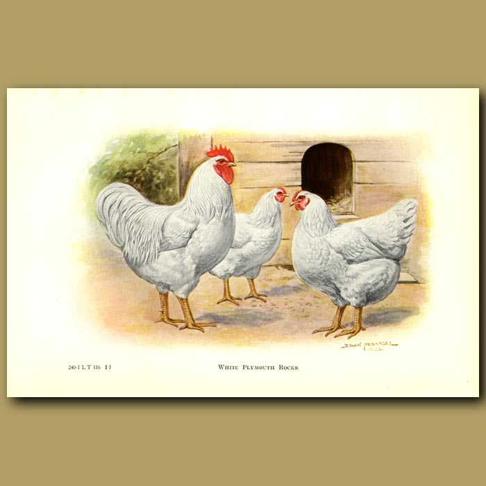 Antique print. White Plymouth Rock Chickens