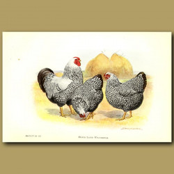 Silver Laced Wyandotte Chickens