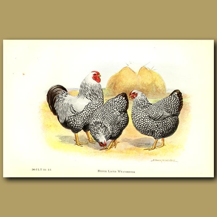 Antique print. Silver Laced Wyandotte Chickens