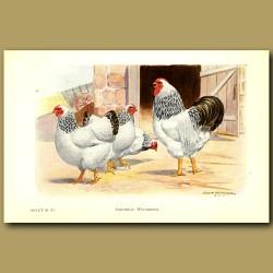 Columbian Wyandotte Chickens